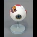 Modelo de olho, 6x tam. real - 6 partes