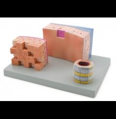 Modelo das secções da traqueia