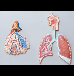 Sistema respiratório c/alvéolos aumentados