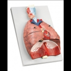 Pulmões, coração e faringe - 7 partes
