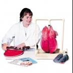 Modelo de demonstração pulmonar