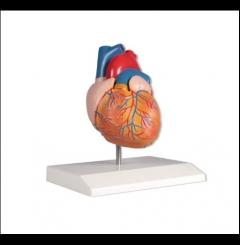 Modelo de coração, tam. real - 2 partes