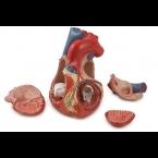 Coração humano - 2x tam. real - 4 partes