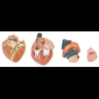 Coração gigante - 4 partes