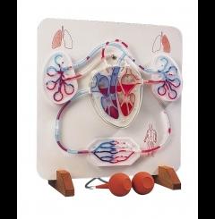 Coração funcional e sistema circulatório