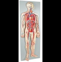Sistema circulatório, ½ tam. real - 2 partes