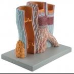 Modelo de veia e artéria, 20x tam. real