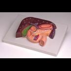 Fígado c/vesícula biliar, pâncreas e duodeno