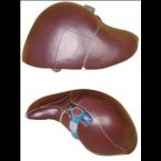 Fígado humano - 1.5x tam. real