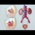Secção mediana dos tractos urinários feminino e masculino