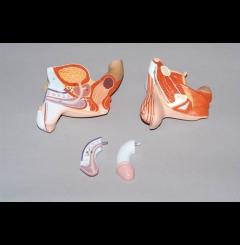 Orgãos genitais masculinos - 4 partes