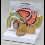 Versão da secção transversal pélvica masculina c/próstata (miniatura)