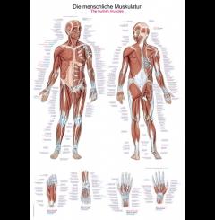 Quadro dos músculos (70 x 100)