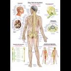 Quadro do sistema nervoso (50 x 70)