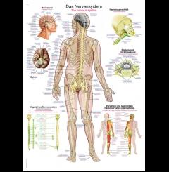 Quadro do sistema nervoso (70 x 100)