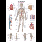 Quadro do Sistema Vascular(50 x 70)