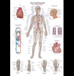 Quadro do Sistema Vascular(70 x 100)