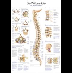 Quadro da coluna vertebral (70 x 100)