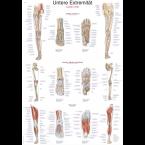 Quadro dos membros inferiores (50 x 70)