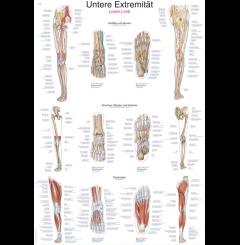 Quadro dos membros inferiores (70 x 100)