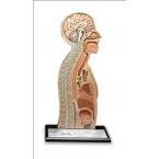 Modelo de intubação nasogástrica