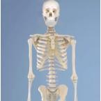 """Esqueleto """"Willi"""""""