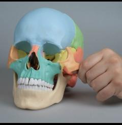 Modelo craniano - 22 partes (versão didáctica crânio)